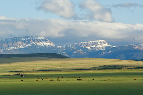 Beef cattle graze on lush spring grass in front of Sawtooth Ridge near Augusta Montana.